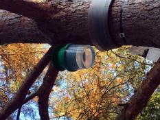 Lutte contre la prolifération des chenilles processionnaires du pin (Montceau)