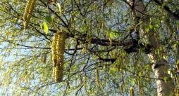 Alerte aux pollens de bouleau (Environnement – santé)
