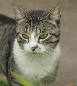 Chat perdu à Saint-Romain-sous-Gourdon