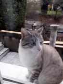 Chat trouvé à Sanvignes