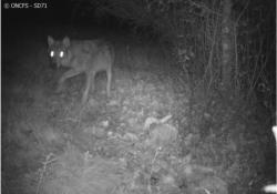 Suspicion de présence d'un loup en Saône-et-Loire