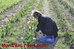 Tulipes contre le cancer version 2017
