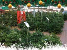 Les Sapins de Noël à Villaverde (Montceau – Gourdon)