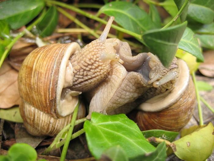 Les escargots de bourgogne montceau news l 39 information de montceau les mines et sa region - Cuisiner les escargots de bourgogne ...