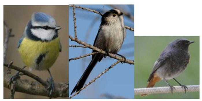 O sont pass nos oiseaux des jardins montceau news for Oiseaux de nos jardins