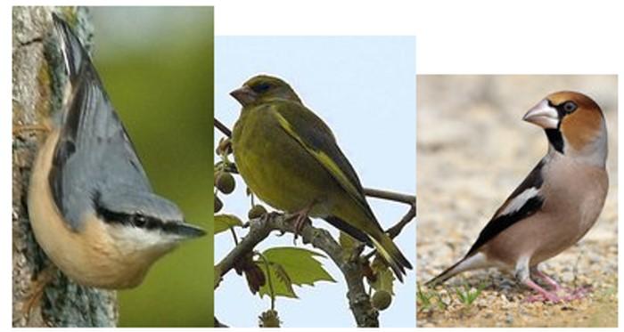 Oiseaux des campagnes et jardins ecouter les chants d 39 for Oiseaux de nos jardins belgique