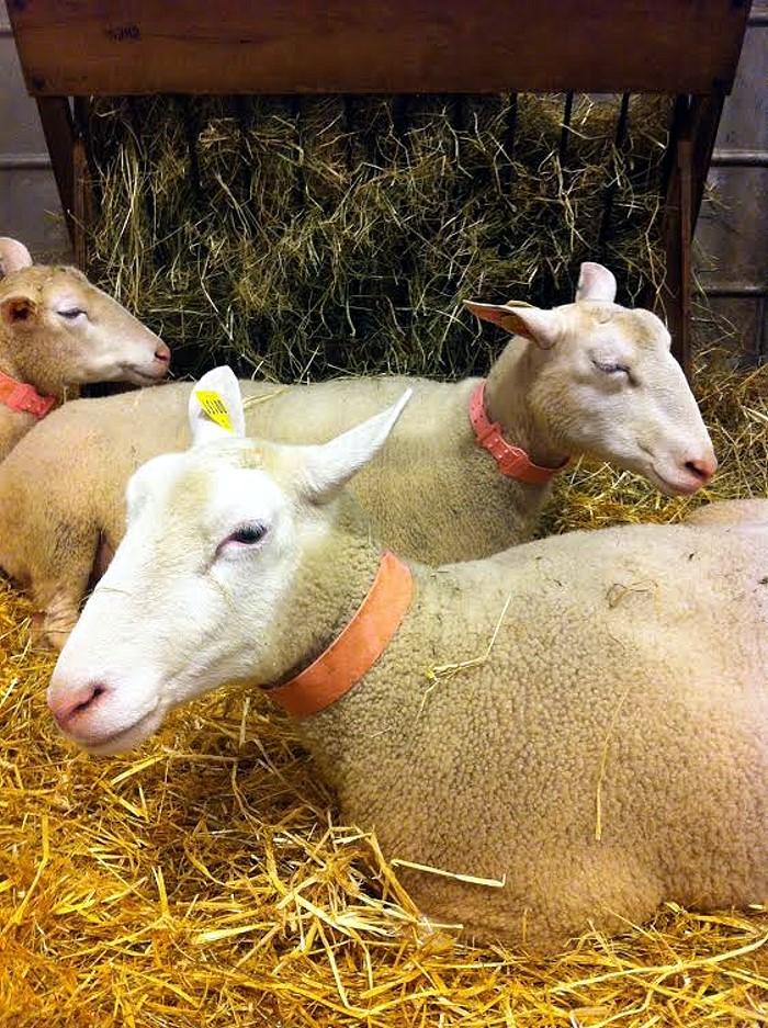 salon mouton 24 02 14