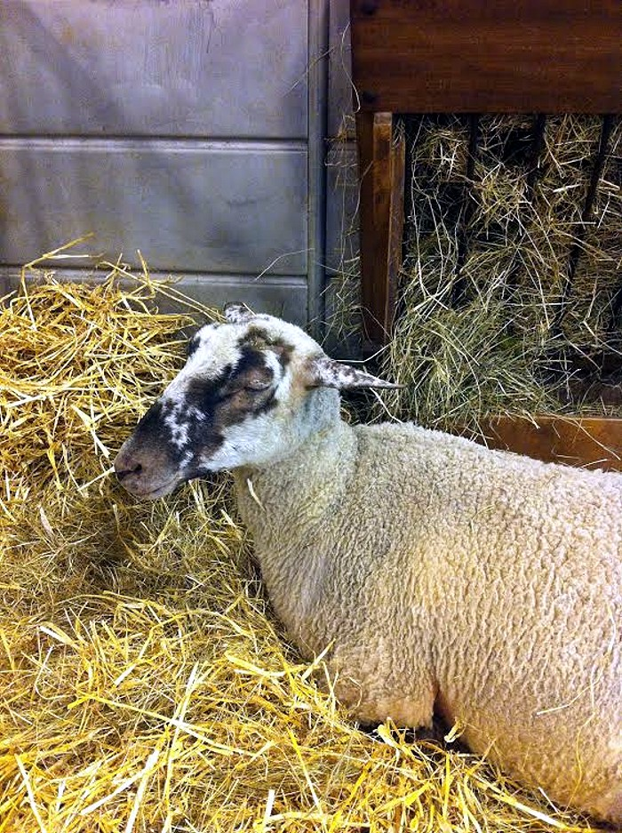 salon mouton 24 02 142
