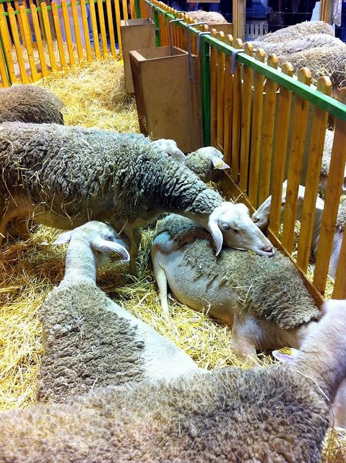 salon mouton Lacaun 24 02 14