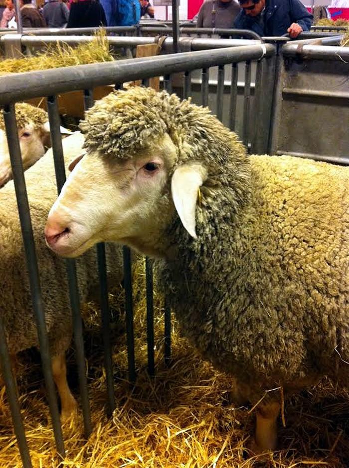 salon mouton Merinos 24 02 14