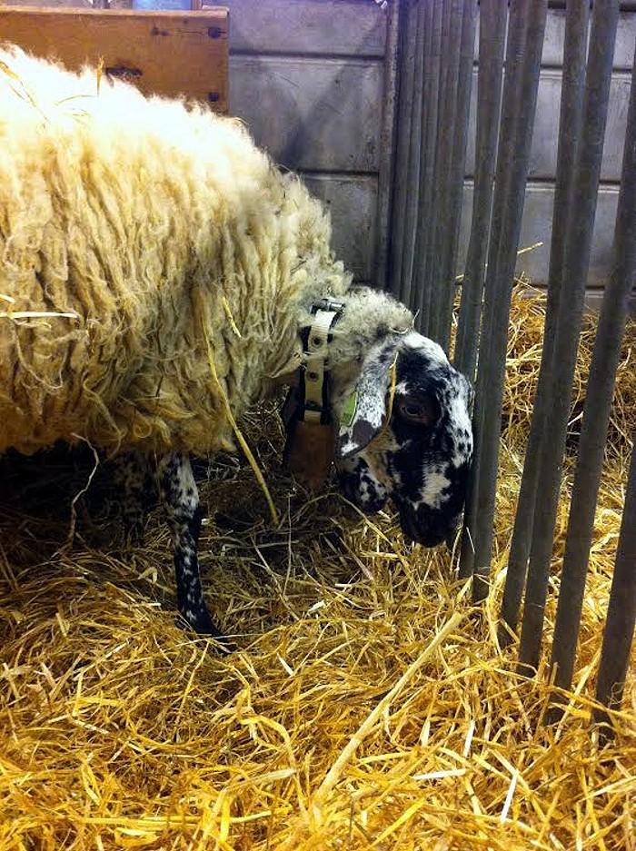salon mouton Rava 24 02 14