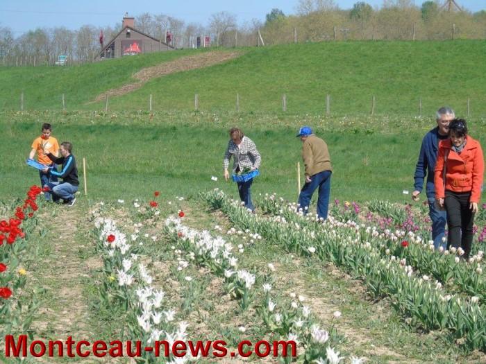 tulipe 1904152