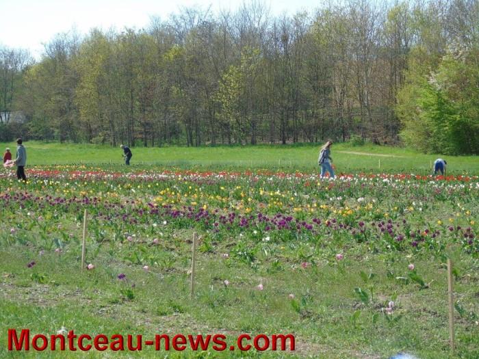 tulipe 1904159