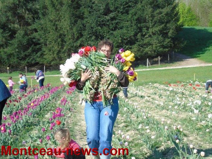 tulipe 2404153
