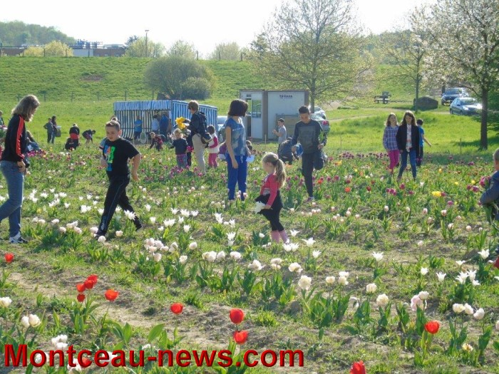 tulipes 2404152