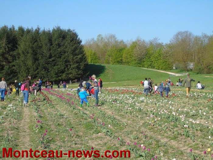 tulipes 2404154