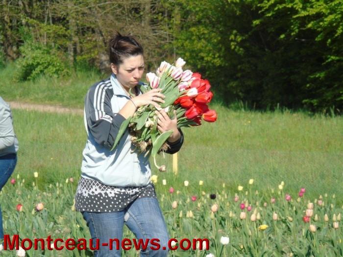 tulipes 2404156