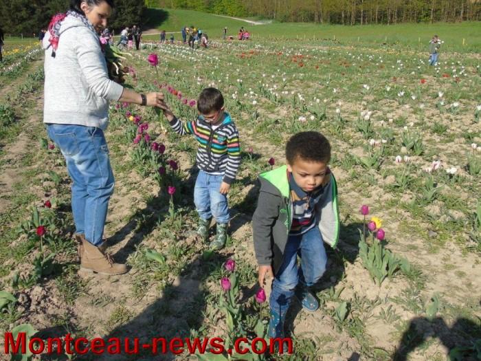 tulipes 2404157