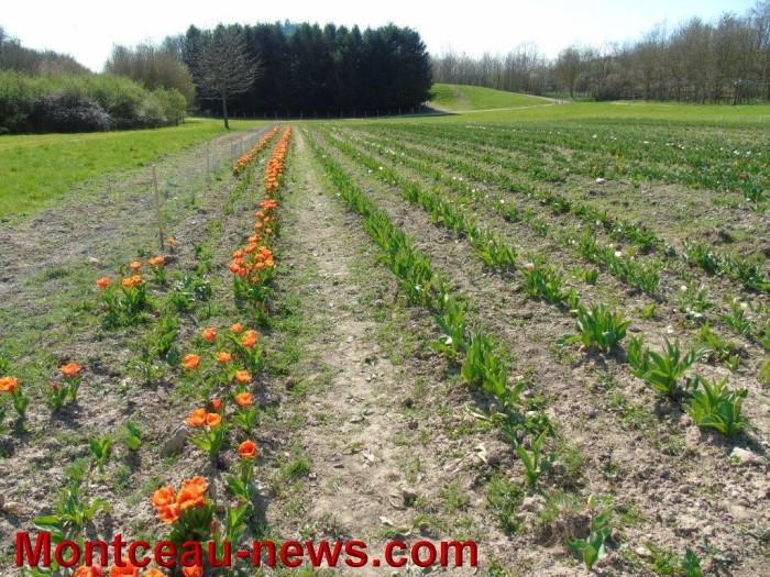 tulipes lions 1104153