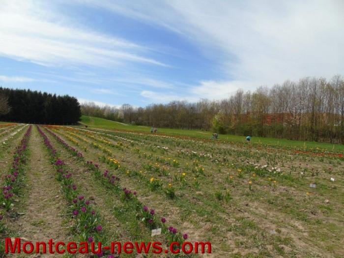 tulipes lions 1604152