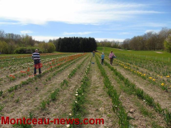 tulipes lions 1604153