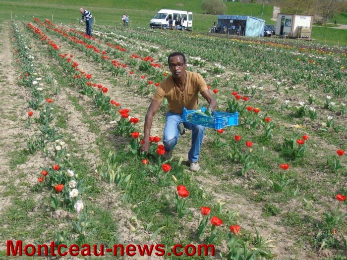 tulipes lions 1604154