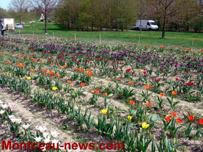 tulipes lions 1604158