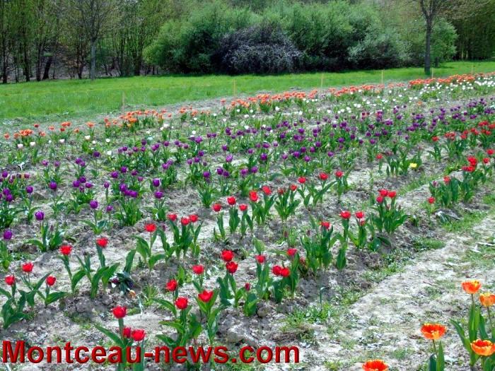 tulipes lions 1604159