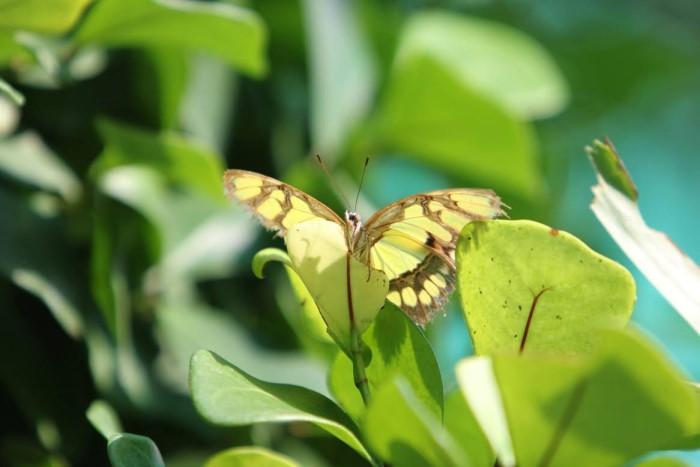 papillon ne 06081510