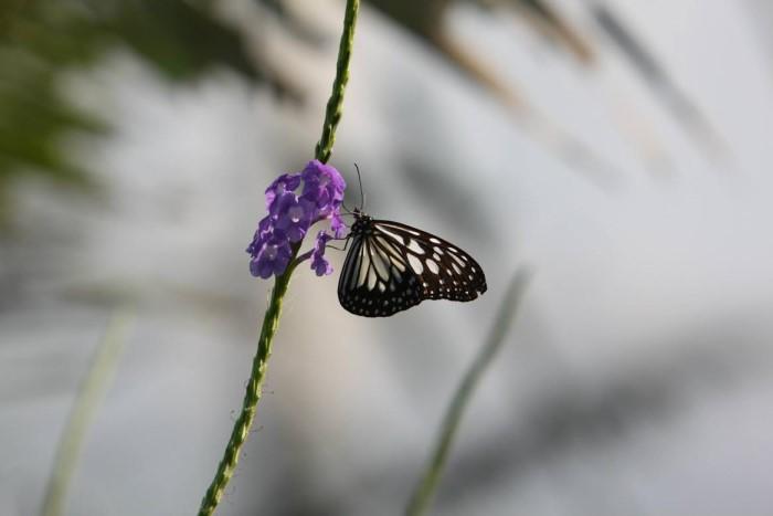 papillon ne 06081512