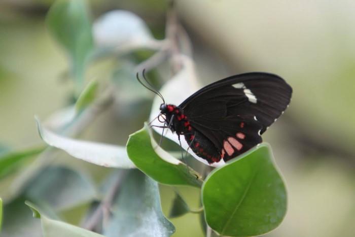 papillon ne 06081513