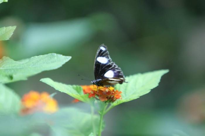 papillon ne 06081514