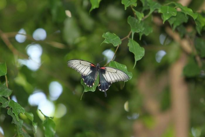 papillon ne 06081515