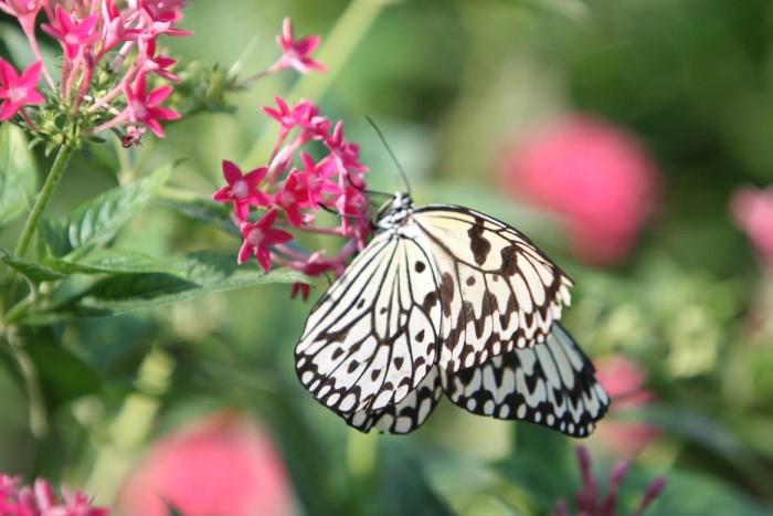 papillon ne 0608152