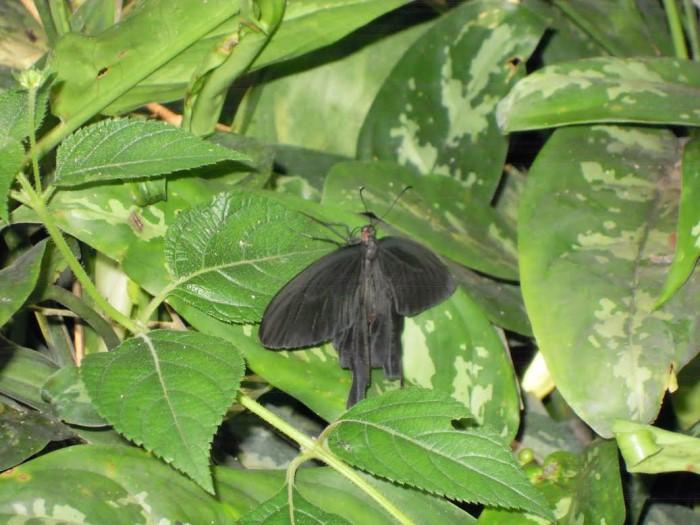 papillon ne 06081521