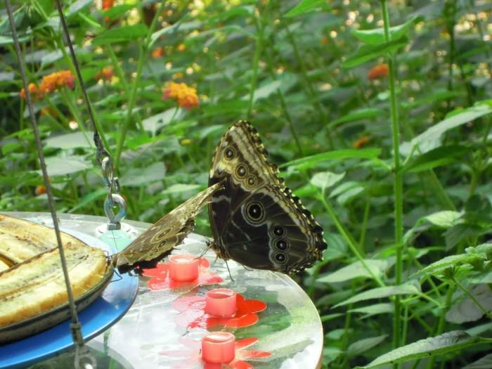 papillon ne 06081523