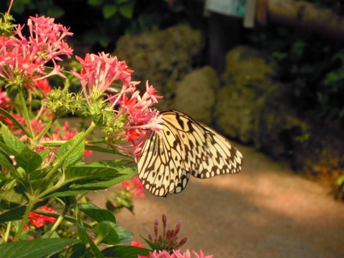 papillon ne 06081524