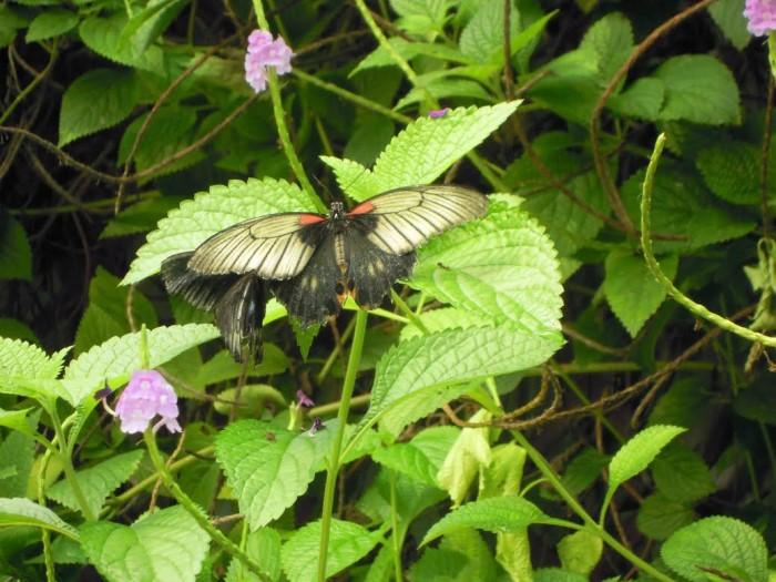 papillon ne 06081527