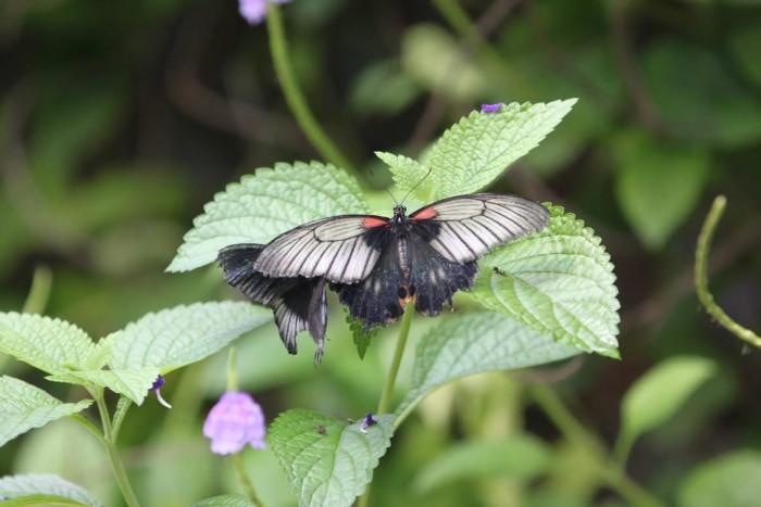 papillon ne 0608153