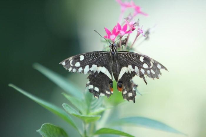 papillon ne 0608154