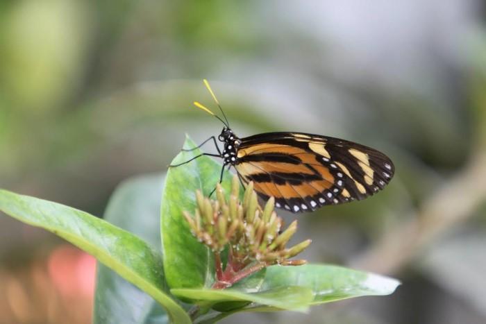 papillon ne 0608155