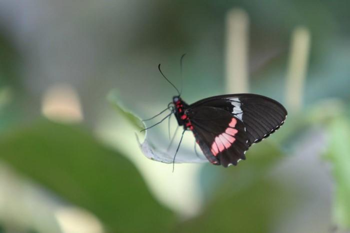 papillon ne 0608156