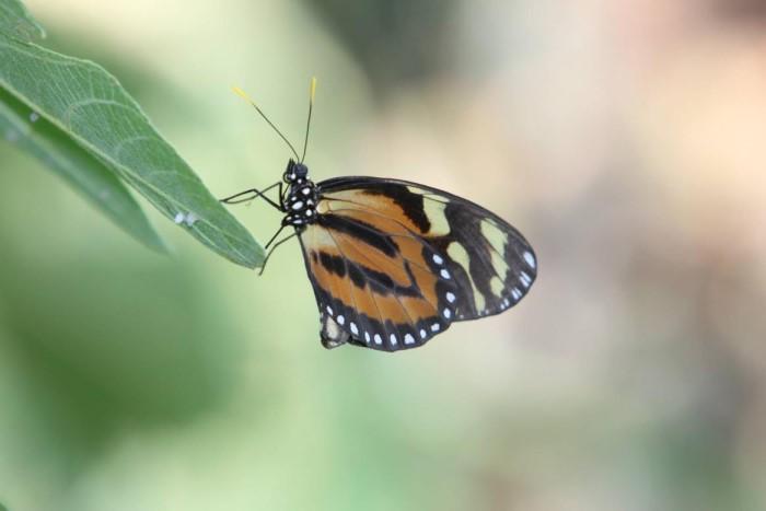 papillon ne 0608157