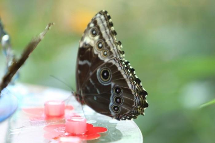 papillon ne 0608158