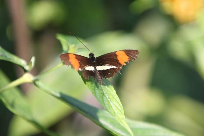 papillon ne 0608159