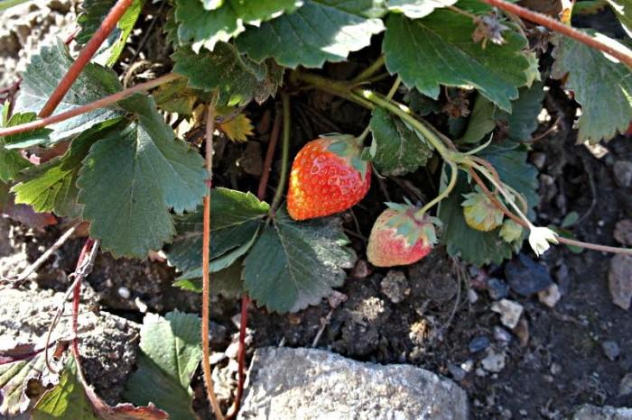 fraise 1009152