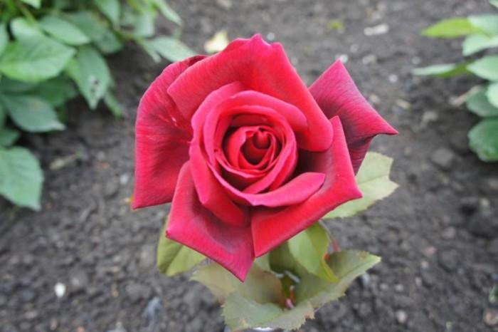 rose 1010152