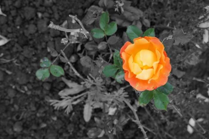 rose 1010153