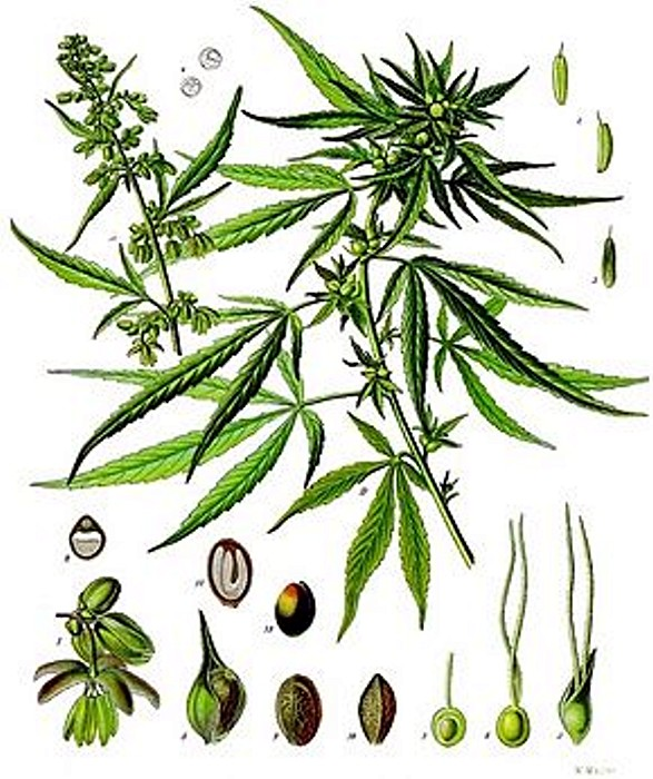 cannabis 29 01 16