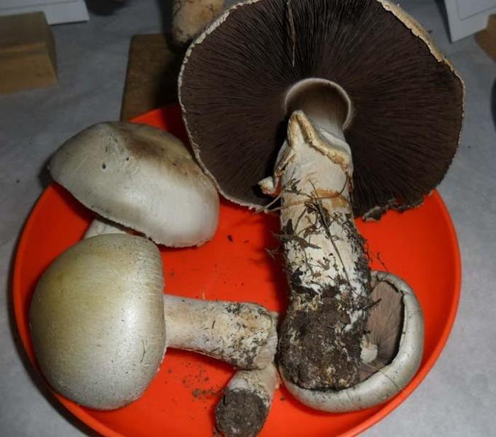 champignons 1002162